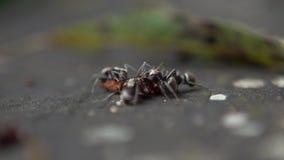 Makroen Långsam-mo av stora myror för lotter bär det döda felet för att bygga bo koloniformicaryen stock video