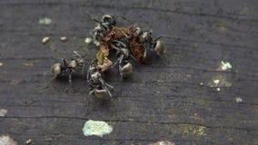 Makroen Långsam-mo av stora myror för lotter bär det döda felet för att bygga bo koloniformicaryen arkivfilmer