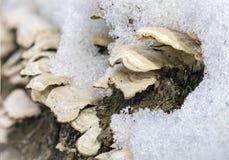Makroen plocka svamp under snö Arkivbilder