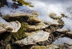 Makroen plocka svamp under snökristaller Arkivbilder