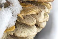 Makroen plocka svamp under snökristaller Royaltyfri Fotografi