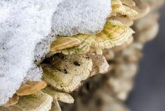 Makroen plocka svamp under snökristaller Royaltyfri Foto
