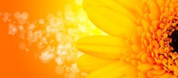 Gerber blomning Arkivfoto