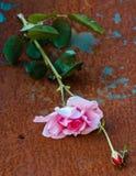 Makroen steg med ett blad och en rost fotografering för bildbyråer