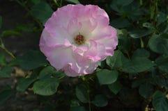 Makrofärgblommor isolerade rosor Royaltyfri Foto