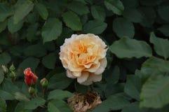 Makrofärgblommor isolerade rosor Royaltyfri Fotografi