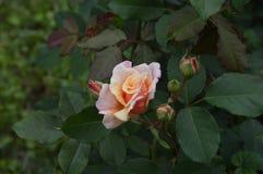 Makrofärgblommor isolerade rosor Royaltyfri Bild