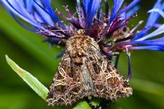 Makrofjärilen sitter på en blomma Royaltyfria Foton