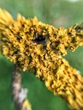 Makroflechtenbaum Lizenzfreies Stockbild