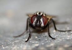Makrofliegen-Nahaufnahme Stockbilder