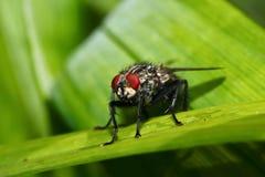 Makroflugan sitter på ett blad i trädgården Fotografering för Bildbyråer