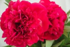 makrofors av den röda pionknoppen Royaltyfria Bilder