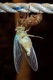 Makrofoto av cikadan (Tibicenpruinosusen) Royaltyfri Fotografi