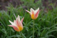 Makrofoto av de flerfärgade tulporna royaltyfria bilder