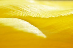 Makrofoto av den gula tulpanblomman fotografering för bildbyråer