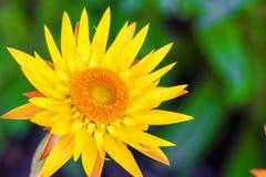 Makrofoto av den härliga gula för Dargan för Xerochrysum bracteatum` monarken kulle royaltyfri fotografi