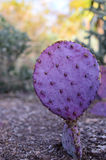 Makrofoto av den lilla kaktuns Arkivfoton