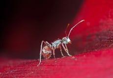 Makrofoto av den mycket lilla myran på det röda kronbladet av blomman royaltyfri foto