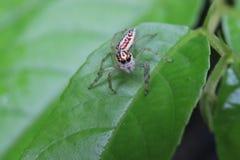 Makrofoto av en gullig hoppa spindel Salticidae med stora blåtiror och en brunt med den vita kroppen arkivfoton