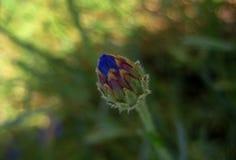 Makrofoto av en knopp av en lös blomma för ängKnapweed med ljusa blåa kronblad Royaltyfri Foto
