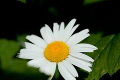 Makrofoto av en lös tusensköna för härlig blomma Tusensk?nablomma med vita kronblad Att blomma kamomill växer i ängen mot royaltyfri foto
