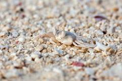 Makrofoto av en vit tropisk krabba på stranden Arkivbild