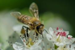 Makrofoto av ett bi Arkivfoton