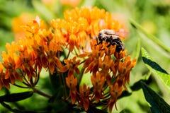 Makrofoto av ett bi på en blomma Arkivbilder