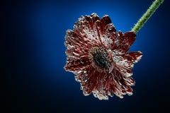 makrofoto av gerberablomman i mineralvattenen som bubblar dolda kronblad Fotografering för Bildbyråer