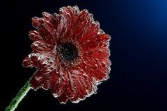 makrofoto av gerberablomman i mineralvattenen som bubblar dolda kronblad Royaltyfri Foto