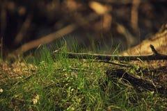Makrofoto av gräs och filialer i guld- timme Arkivbilder