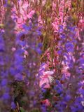 Makrofoto av a grov spik-som inflorescencen av rosa blommor av ` för Geyser för Gaura lindheimeri` suddig rosa förgrunden och bak Royaltyfri Bild
