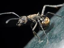 Makrofoto av guld- Weaver Ant på golvet som isoleras på svart royaltyfri foto