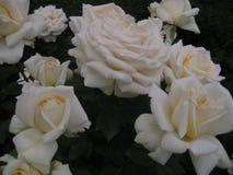 Makrofoto av härliga blommarosor med sammetkronblad Fotografering för Bildbyråer