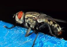 Makrofoto av husflugan som isoleras på bakgrund royaltyfri foto