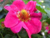 Makrofoto av ljusa rosa kronblad av en jordgubbe för blomningfruktväxter Royaltyfria Bilder