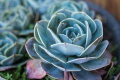 Makrofoto av suckulenten inomhus Arbeta i trädgården växt royaltyfri foto