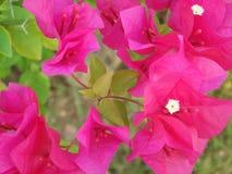 Makrofoto dekorativen Bouganvillas Schönheit der rosa Blume Stockfotografie