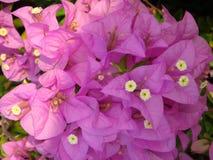 Makrofoto dekorativen Bouganvillas Schönheit der rosa Blume Lizenzfreie Stockfotos
