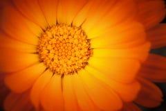 Makrofoto der gelben Calendulablume Lizenzfreie Stockfotos