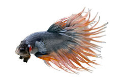 Makrofoto der Krone des Siamesischen Kampffisches bindet kämpfende fishs, betta splendens an, die auf weißem Hintergrund lokalisi Stockbilder
