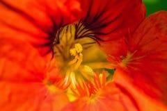 Makrofoto der Mitte der Blume und des Stempels und des Staubgefässes stockfotografie