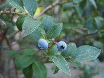 Makrofoto des bluberry Hauptgartens stockfotos