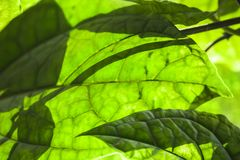 Makrofoto des grünen Blattes mit Schatten Lizenzfreie Stockfotos
