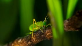 Makrofoto des großen grünen Bushkrickets stockfoto