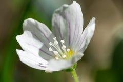 Makrofoto des hölzernen Sauerampfers der Blüte, Oxalis-acetosella Lizenzfreie Stockbilder