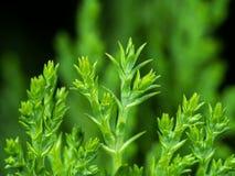 Makrofoto des orientalischer Arborvitae-Blattes lokalisiert auf Natur Backg lizenzfreie stockbilder
