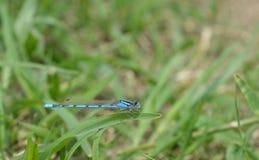 Makrofoto einer blauen Libelle auf einem Blatt des grünen Grases Stockfotos