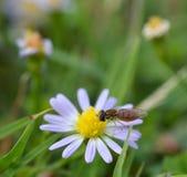 Makrofoto einer Blumenfliege auf kleine Gänseblümchen stockbild