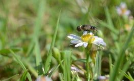Makrofoto einer Blumenfliege auf kleine Gänseblümchen lizenzfreie stockfotos
